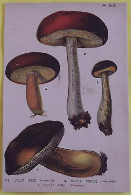 Old Print 1880 Original Boletus Mushrooms Rude, Tanned, Amer