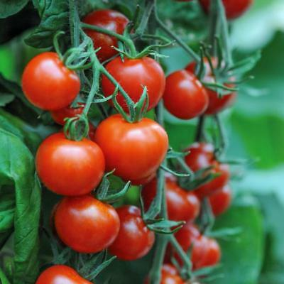 Tomato Mountain Magic F1 - 6 Seeds - Blight Resistant