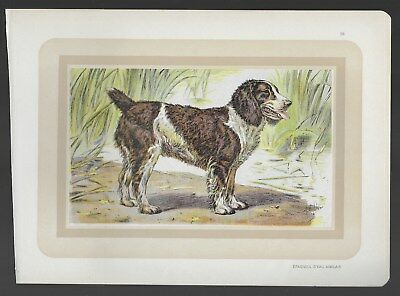 English Water or Springer Spaniel Antique French Color Lithograph c.1910