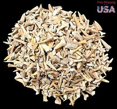 One Pound of Genuine Shark Teeth - Fossilized Moroccan Teeth! - Wholes