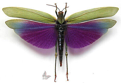Titanacris albipes,FEMALE,Unmounted