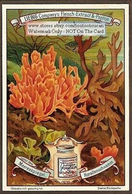 False Sea Coral Marine Ocean Science Biology BEAUTIFUL c1899 Trade Ad Card