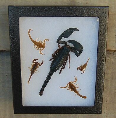 E572) Real SCORPION COLLECTION taxidermy mount 5X6 framed USA combined ship!