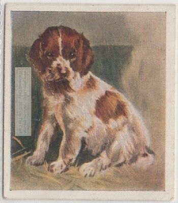 Welsh Springer Spaniel Puppy Dog Pet Animal Canine 80+ Y/O Trade Ad Card
