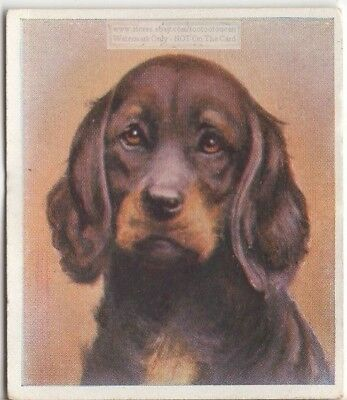 Gordon Setter Dog Pet Animal Canine c80 Y/O Trade Ad Card