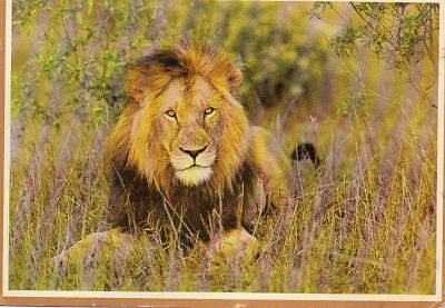 VINTAGE postcard of LION AT KRUGER NATIONAL PARK SOUTH AFRICA
