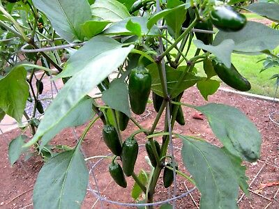 Vegetable  Hot Chilli Pepper Jalapeno - 350 Finest Seeds