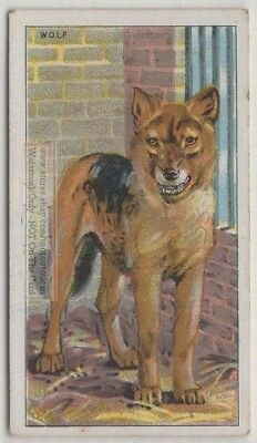 Wolf Canis lupis 90+ Y/O Trade Ad Card