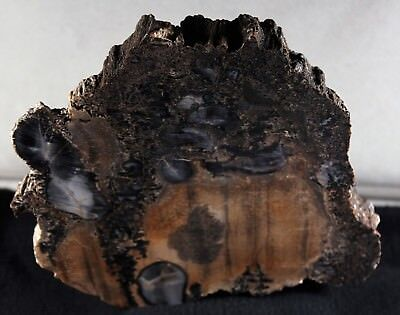 "RARE END CUT 6.5""x 6"" FREESTANDING ARIZONA PETRIFIED WOOD POLISHED FACE 3lb 6oz"