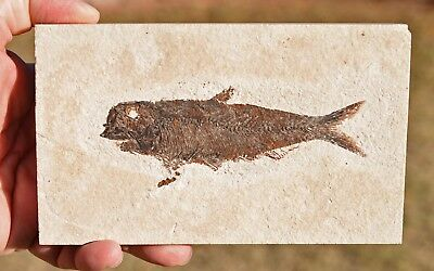 Fossil Fish, Knightia eocaena 4.95 inches, GRF, Kemmerer,  Wyoming, U.S.A. #6