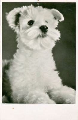 RARE Old Personal Photo Postcard PC Groomed Maltese Dog Netherlands c1950
