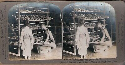 2Stereo Foto Japan Nippon Feeding mulberry leaves to the silk worms Seidenraupen