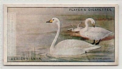 Bewick's Tundra Swan Bird c90  Y/O Ad Trade Card