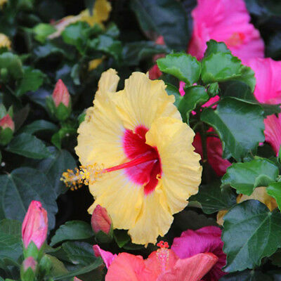 100Pcs Rare Hibiscus Seeds Giant Dinner Plate Flower Garden Exotic Pretty & 100PCS RARE HIBISCUS Seeds Giant Dinner Plate Flower Garden Exotic ...