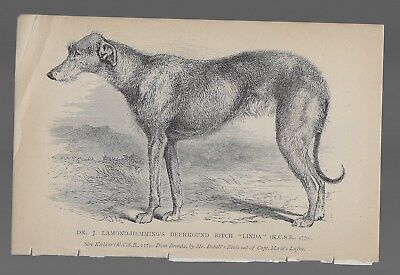 Scottish Deerhound Antique Engraved Dog Print 19th Century