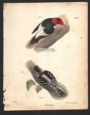 Woodpeckers - Redheaded and Downy Original 1845 DeKay H/C Bird Print