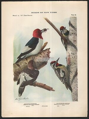 Woodpeckers Red Headed Yellow Belly Bird Print c1914 by Louis Agassiz Fuertes