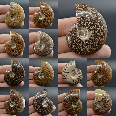 "39-72mm Ammonite fossil piece *each one pictured*1.5""-2.8"""