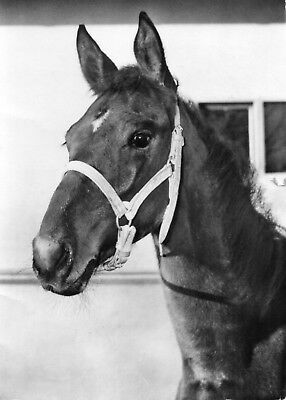 VINTAGE postcard of YOUNG HORSE