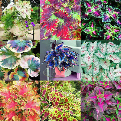 50Ps Coleus Flower Seeds Diy Garden Yard Leaf Plant Potted Bonsai Decor Classic