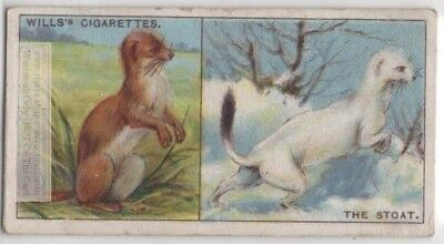 Ermine Stoat Fur Winter Change Of Color White Pelt 95+ Y/O Trade Ad Card