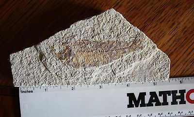 Knightia Alta Fish Fossil In Matrix  Green River Formation 55 Million Years Old