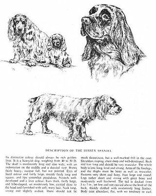 Sussex Spaniel Sketch - 1963 Vintage Dog Print - Matted