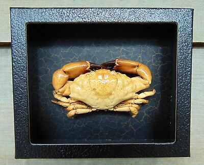 RC3) Real RUBBLE CRAB framed mounted Taxidermy Display shellfish Combd Shipping!
