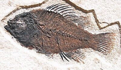 Fossil Fish, Priscacara liops, 4.3 inches, GRF, Kemmerer, Wyoming, U.S.A. #5
