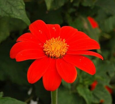 Mexican Sunflower - Red Torch - Tithonia Speciosa - 150 Quality Flower Seeds