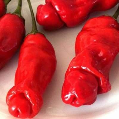 200  Seeds Peter Pepper Red Willy Chilli Heirloom Capsicum vegetable RARE