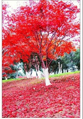 Japanese Red Maple Tree Seeds 30pcs/bag Mini Bonsai Tree Seed Ornamental Plant