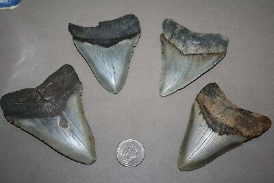 MEGALODON Fossil Giant Shark Teeth All Natural Large LOT OF 4 BEAUTIFUL TEETH