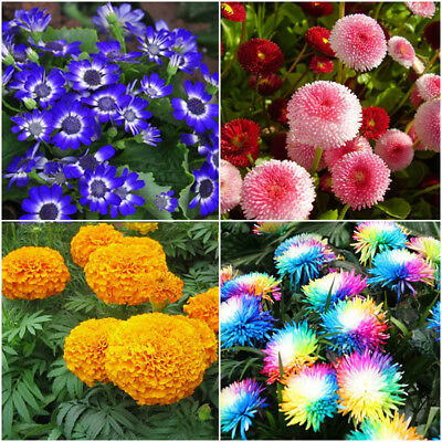 Various Flower Daisy Seeds Ideal Garden Potted Seed Rare Plant Ornamental Decor