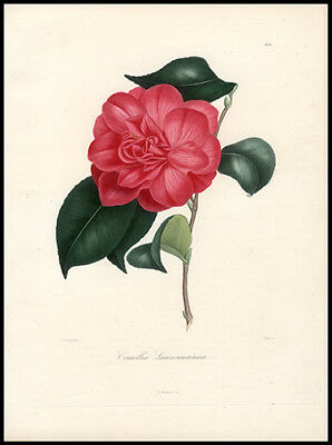 177 Yr Old Original Antique Berlese  Hand-Colored Engraving Beautiful Camellia