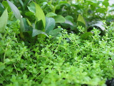 120 x (10 Species) live Aquarium Plants