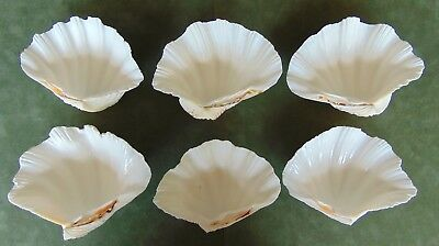 Lot of 6 GIANT CLAM SHELL collection Tridacna Hippopus 6 inch Seashells in USA