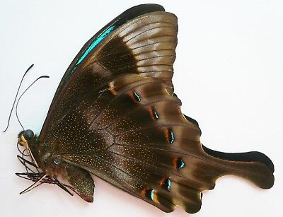 Papilio Pericles Male From Timor Isl.