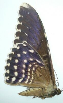 Thysania Agrippina From Iquitos, Peru