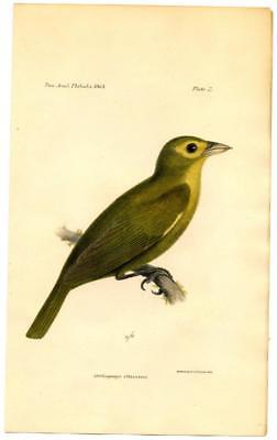 1864 Bowen Lemon Spectacled Tanager Cardinal Lithograph Hand Colored Print