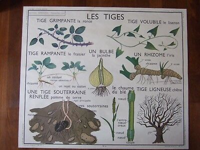 affiche scolaire Rossignol  tiges racines adventives