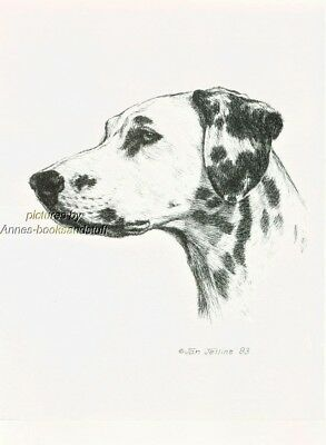 #341 DALMATION  dog art print * Pen and ink drawing * Jan Jellins