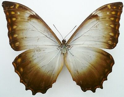 MORPHO THESEUS PACIFICUS MALE FROM CHUCHUVI, WEST ECUADOR A- repaired