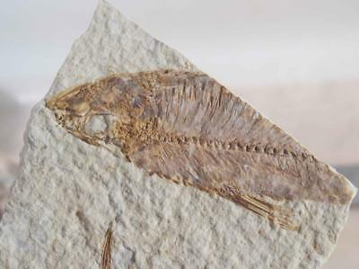 Fossil Fish: Green River Formation Wyoming 1.3 oz plate