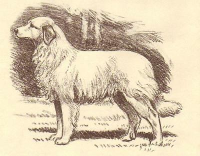 Great Pyrenees - Vintage Dog Print - 1954 Megargee