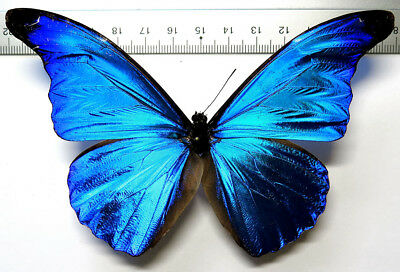Morpho rhetenor male *French Guyane*