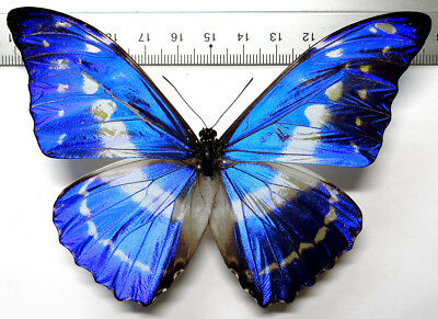 Morpho cypris limonensis male *Costa Rica*