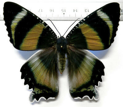 Alcides zodiaca female PINK *Australia*
