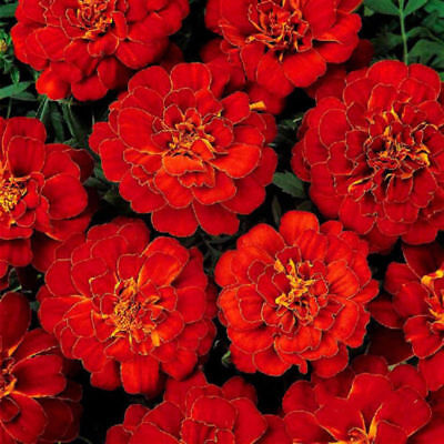 Marigold French -Double Brocade Red - 30 Gram - Approx 10500 Seeds - Bulk