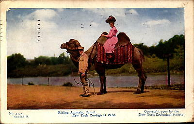 Postcard Riding Animals Camel New York Zoological Park 1910 Postmark